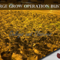 34 Agencies Take Down Illegal Marijuana Growing Operations Many In Grays Harbor County Tuesday Morning.